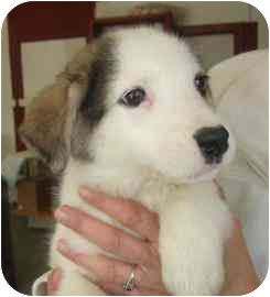 Husky Mix Puppy for adoption in Old Bridge, New Jersey - Montana