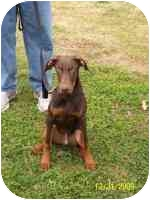 Doberman Pinscher Puppy for adoption in Arlington, Virginia - Ace