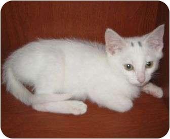 Domestic Shorthair Kitten for adoption in Medford, Massachusetts - Tigerfox & Fernleaf
