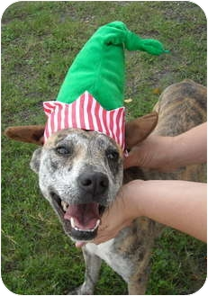 Catahoula Leopard Dog Mix Dog for adoption in Corpus Christi, Texas - Rudy