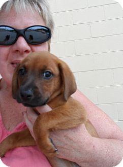 Dachshund/Beagle Mix Puppy for adoption in Buffalo, New York - Rudy: 9 weeks