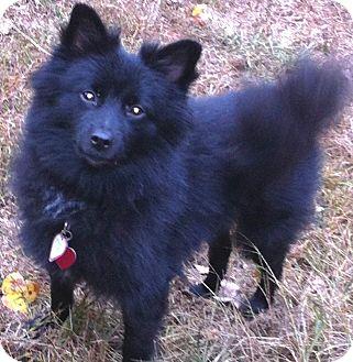 Schipperke/Pomeranian Mix Dog for adoption in Manchester, Connecticut - Skipper