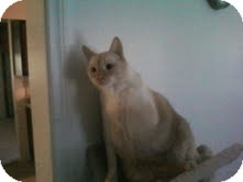 Siamese Cat for adoption in Lucerne Valley, California - Blue