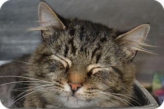Domestic Mediumhair Cat for adoption in Elyria, Ohio - Zilla