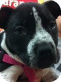 Pit Bull Terrier/Boston Terrier Mix Puppy for adoption in Modesto, California - Cookie