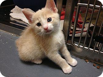 Domestic Shorthair Kitten for adoption in Chicago, Illinois - Dorothy