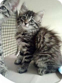 Maine Coon Kitten for adoption in San Fernando Valley, California - Mercy
