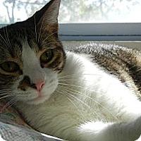 Domestic Shorthair Cat for adoption in Miami, Florida - Cheri