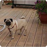 Adopt A Pet :: Molly - Avondale, PA