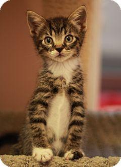 Domestic Shorthair Kitten for adoption in Richmond, Virginia - Caramel