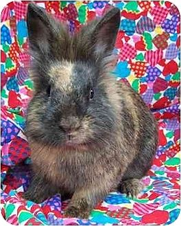 Lionhead Mix for adoption in Old Fort, North Carolina - Waffles