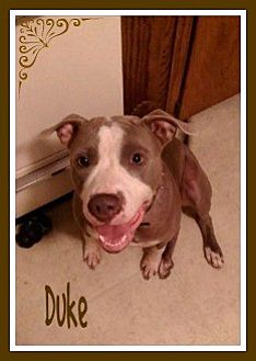 Pit Bull Terrier Mix Dog for adoption in New Richmond,, Wisconsin - Duke
