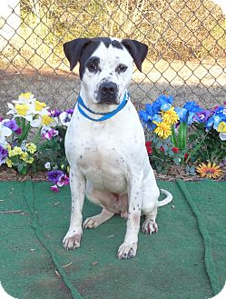 American Bulldog/Labrador Retriever Mix Dog for adoption in Marietta, Georgia - LOCO- See Video!