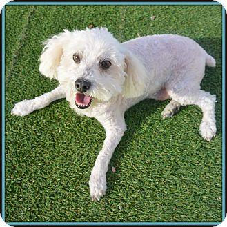 Poodle (Miniature) Mix Dog for adoption in Glendale, Arizona - Archie