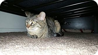 Domestic Shorthair Cat for adoption in Loveland, Colorado - TRES