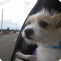 Adopt A Pet :: Scrappy - Ft. Collins, CO