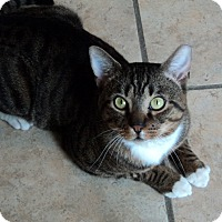 Domestic Mediumhair Cat for adoption in Baltimore, Maryland - Rascal