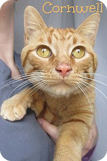Domestic Shorthair Cat for adoption in Menomonie, Wisconsin - Cornwell