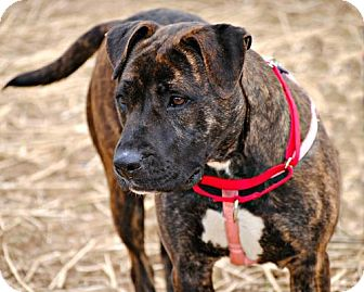 American Staffordshire Terrier/Pit Bull Terrier Mix Dog for adoption in Point Pleasant, Pennsylvania - ZITA-COURTESY POST