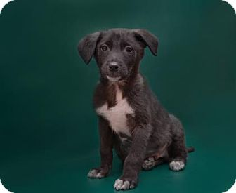 Retriever (Unknown Type) Mix Puppy for adoption in Brooklyn, New York - Cooper