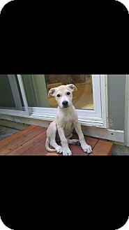 Labrador Retriever Mix Puppy for adoption in Lacey, Washington - Emily