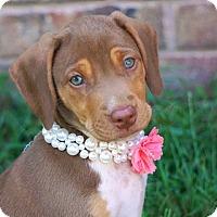 Adopt A Pet :: *Miss Kitty - PENDING - Westport, CT
