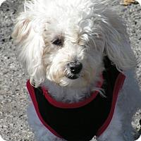 Adopt A Pet :: Candy - Rigaud, QC