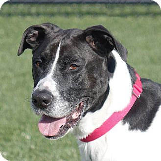 Labrador Retriever/Great Dane Mix Dog for adoption in Columbia, Illinois - Odie