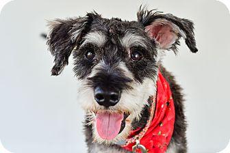 Schnauzer (Miniature) Mix Dog for adoption in Victoria, British Columbia - Archie