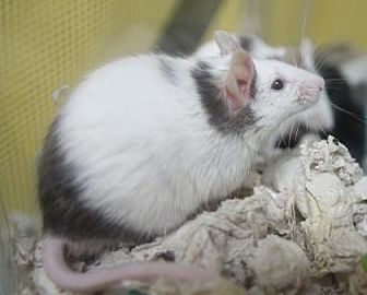 Mouse for adoption in Benbrook, Texas - Monty
