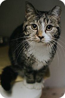 Domestic Shorthair Cat for adoption in Indianapolis, Indiana - Lucky
