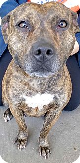 American Pit Bull Terrier Mix Dog for adoption in Taylor, Michigan - KELLY