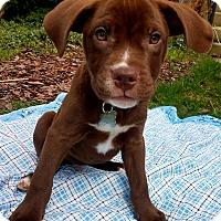 Adopt A Pet :: Leprechaun-Adopted! - Detroit, MI