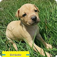 Adopt A Pet :: Bimbette - Ft. Myers, FL