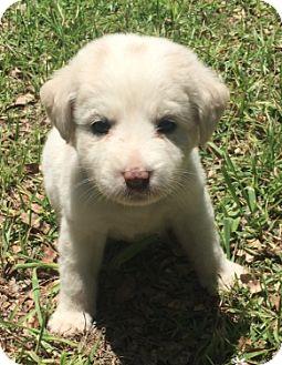 Australian Shepherd/Labrador Retriever Mix Puppy for adoption in Sylacauga, Alabama - Female Purple