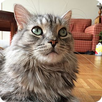 Domestic Longhair Cat for adoption in Toronto, Ontario - Trixie