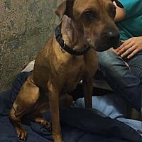 Adopt A Pet :: Star - Ft. Lauderdale, FL