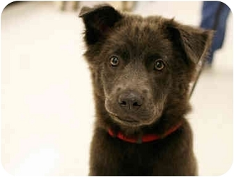 Shar Pei/Chow Chow Mix Puppy for adoption in Northville, Michigan - Kayla