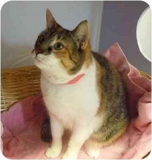 Calico Cat for adoption in Grants Pass, Oregon - Benita
