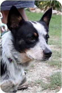 Australian Cattle Dog Mix Dog for adoption in Siler City, North Carolina - Luna