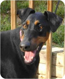Doberman Pinscher Dog for adoption in Moon Township, Pennsylvania - Rainey