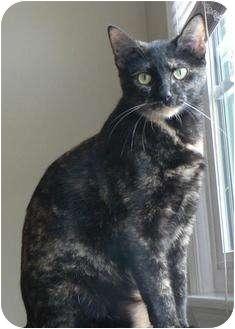 Domestic Shorthair Cat for adoption in Hendersonville, Tennessee - Miranda
