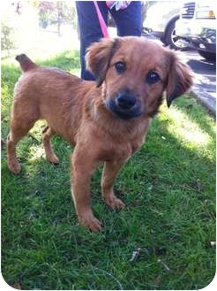 Australian Shepherd/Spaniel (Unknown Type) Mix Puppy for adoption in Salem, New Hampshire - SKYE