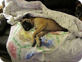 Bullmastiff Dog for adoption in Carey, Ohio - HALEY