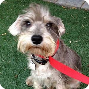Schnauzer (Miniature) Dog for adoption in Redondo Beach, California - Cassidy