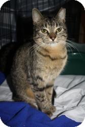 Bengal Kitten for adoption in Acushnet, Massachusetts - Kat