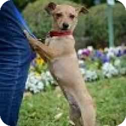 Chihuahua Mix Dog for adoption in Houston, Texas - Miss Molly
