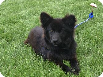 Retriever (Unknown Type)/Border Collie Mix Dog for adoption in Chilliwack, British Columbia - EBONY