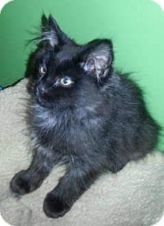 Domestic Mediumhair Kitten for adoption in Clearfield, Utah - Fiesta