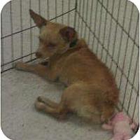 Adopt A Pet :: Vanilla - Phoenix, AZ